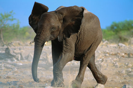West African Elephant